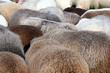 Schafe - Sheeps