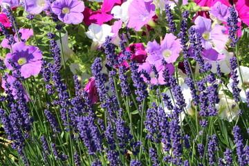 Panel Szklany Lawenda Sommerblumen, Blumenfeld mit Lavendel und bunte Petunien