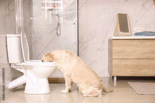 Obraz Cute Golden Labrador Retriever drinking water from toilet bowl - fototapety do salonu
