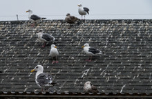 Seagulls On A Roof, Leaving Massive Amounts Of Bird Droppings