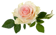 Pink Rose Isolated On White Ba...