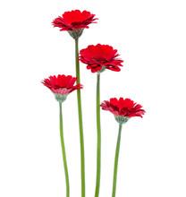 Vertical Red Gerbera Flowers W...