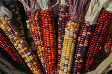 Cobbs Of Colorful Indian Corn