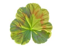 Leaf Of Geranium 4