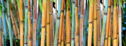 Blue Bamboo (Himalayacalamus hookerianus) growing in Golden Gate Park, San Francisco, California