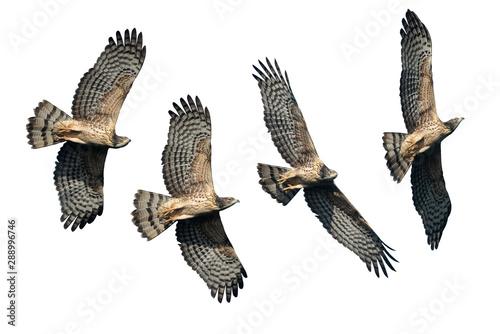 Fototapeta Set of oriental honey buzzards flying isolated on white background obraz