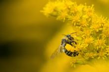 Plasterer Bee With Huge Corbic...