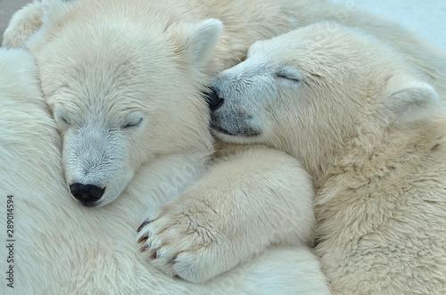 polar bear Fototapeta