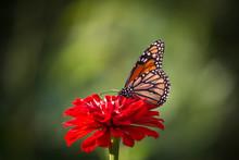 Monarch Butterfly On Red Flower Blossom In Urban Garden