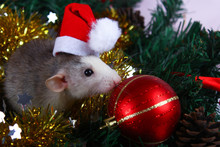 Cute Gray Domestic Rat In Hat In A New Year's Decor. Symbol Of The Year 2020 Is A Rat. Santa's Sleigh