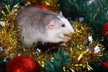 Cute Gray Domestic Rat In A New Year's Decor. Symbol Of The Year 2020 Is A Rat. Santa's Sleigh