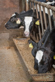 Fototapeta Zwierzęta - Calf. Calves at stable. Farming. Netherlands. Cows Eating concentrated feed