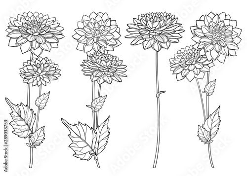 Fotografia Set with outline Dahlia or Dalia flower and ornate leaf in black isolated on white background