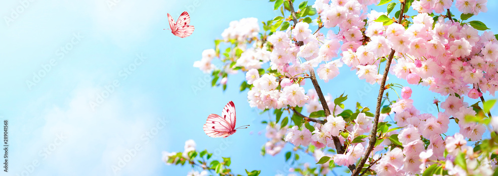 Fototapety, obrazy: Branches blossoming cherry on background blue sky, fluttering butterflies in spring on nature outdoors. Pink sakura flowers, amazing colorful dreamy romantic artistic image spring nature, copy space.