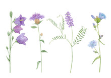 Watercolor Hand Drawn Botanical Set Illustration With Wild Field Or Meadow Purple Flowers Brown Knapweed, Chicory, Vicia Cracca Or Cow Vetch And Bluebell Isolated On White Background.