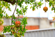 The Fruits Of A Ripening Pomegranate On A Branch Of A Young Light Green Tree, Copyspace For Text.