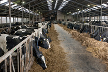 Cow At Modern Dutch Stable Eating Roughage. Farming. At Tthe Farm. Catle Breeding. Dairy Cows. Feed Gate. Netherlands.