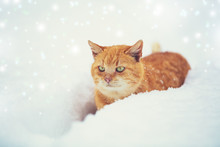 Ginger Cat Sneaks In Deep Snow With Snowfall In Winter