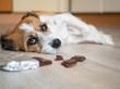Kleiner Terrier Hund mit Schokolade am Boden liegend, Bauchschmerzen, Vergiftung