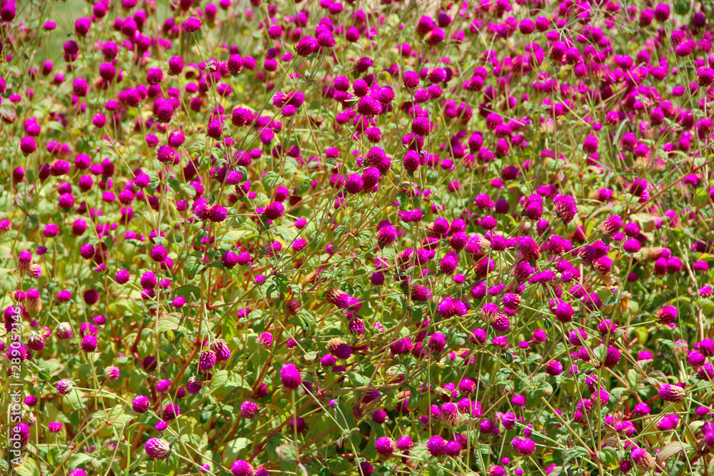 Flowers of red clover in summer field. Red blooming flowers in meadow