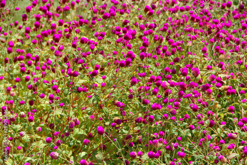 Fototapety, obrazy: Flowers of red clover in summer field. Red blooming flowers in meadow