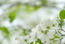 Closeup White Flowering Dogwood, Cornus Florida