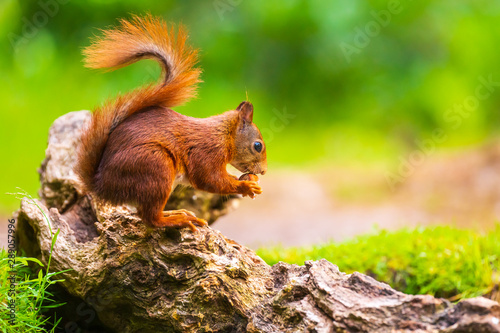 Foto auf Gartenposter Eichhornchen Closeup of a red squirrel, Sciurus vulgaris, seaching food and eating nuts in a forest.