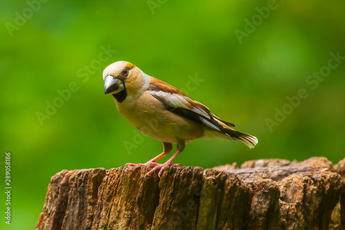 Fotomural Beautiful hawfinch female, Coccothraustes coccothraustes, songbird perched on wo