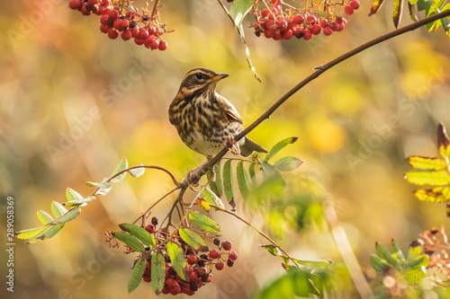 Spoed Fotobehang Vogel Redwing Turdus iliacus bird, eating berries in a forest