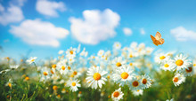 Flowers Daisies In Summer Spring  Meadow On Background Blue Sky With White Clouds, Flying Orange Butterfly, Wide Format. Summer Natural Idyllic Pastoral Landscape, Copy Space.