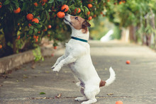 Dog Fond Of Tangerines Trying ...
