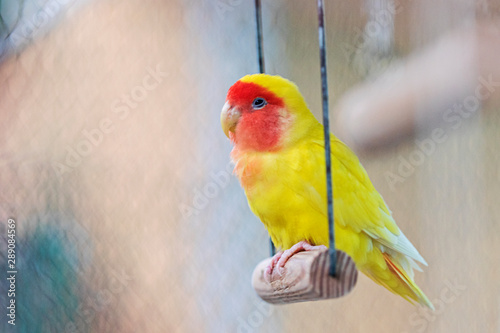 Foto yellow parrot sits in a cage on a swing