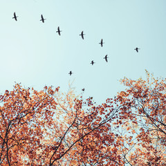 FototapetaMigratory birds flying in the shape of v over autumn forest with birch trees. Sky and clouds with effect of pastel colored.Instagram size