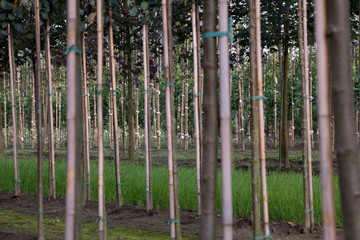 Horticulture. Tree nursery Netherlands