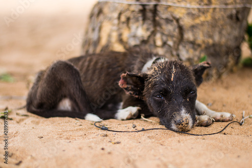 Sad, neglected, mistreated or abused and abandoned puppy dog lying in the sand, Canvas Print