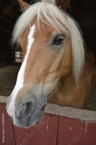 Fototapety, obrazy: Brown horse with white stripe on the face looks out of barn