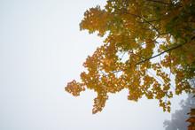 Yellow Leaves In Autumn Season At Toshogu Shrine In Nikko,Japan