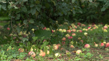 Ripe Apples On The Ground In T...