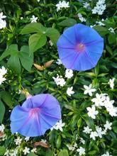 Gorgeous Sky Blue Flowers, Morning Glory Flower In Green Garden Background, Outdoor Day Light