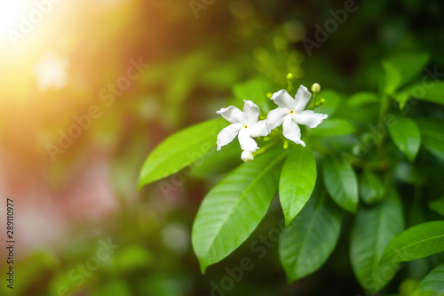 Poster Trees Closeup nature view of Genus Gardenia flower in garden at summer under sunlight. Natural green plants landscape using as a background or wallpaper.