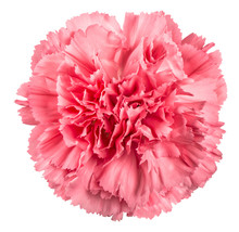 Carnation Flower Pink Isolated White Background