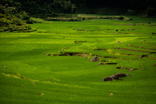 Terraced Green And Yellow Rice...