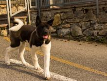 Akita American Dog, Purebred F...