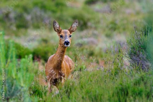 Canvas Prints Roe Deer - Ree