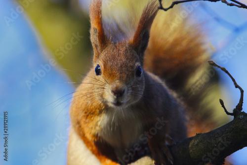 In de dag Eekhoorn Eichhörnchen im Frühling blickt in die Kamera bei Sonnenschein