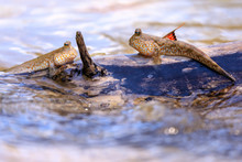 Mudskipper Fishes Standing On ...