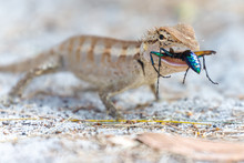 Lizard Eating A Colorful Wasp