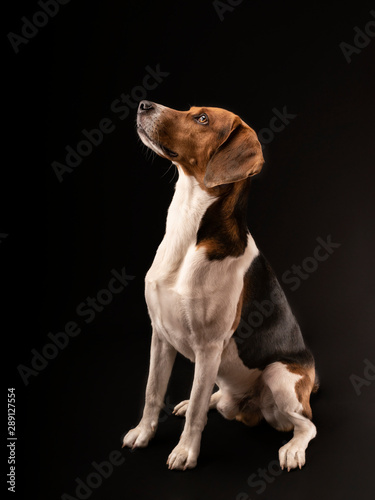 Photo sur Toile Chasse Portrait of a hunting dog made in the studio on a black background. Male Estonian hound, three years old.