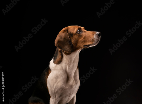 Poster Chasse Portrait of a hunting dog made in the studio on a black background. Male Estonian hound, three years old.