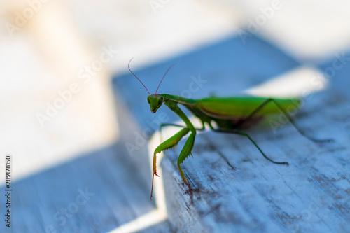 Fotografie, Obraz  mantis. daylight. female. Shallow depth of field. macro shooting.